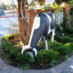 Why are there plastic cows outside the hotel?