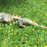 Iguana in the park during our breakfast