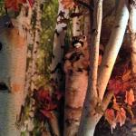 Bear Cove Inn - Mother racoon & baby in the tree