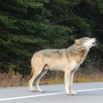male wolf howling right in front of our car