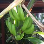 The Rarotongan Beach Resort with bananas right outside your door.