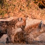 More wildlife sightings: Hyena family