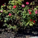 Beautiful Roses Outside Of Denny's!!