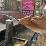 A cow in the market area near Swargasharam