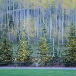 Tree Lights in Foreground of Aspen Forest