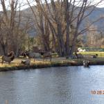Herd of Elk at the private lake near the golf course