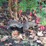 Squirrel in Russell Square.