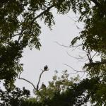 Bald eagles visit