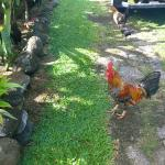 Friendly chickens & roosters