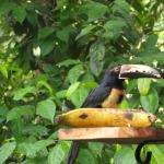 Toucan eating breakfast on our deck