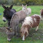 Resident ponies and donkeys