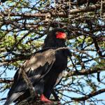 Bateleur Eagle looking Fierce
