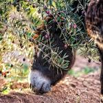 Donkey grazing under the olive trees