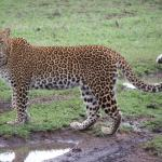 Leopard..also had Cubs we saw.