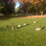 Canadian Geese in Ann Morrison Park