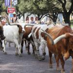 cattle drive just down the street