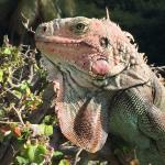 Iguanas of every color are everywhere