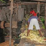Rum Distillery - crushing the sugar cane
