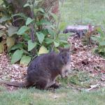 A pademelon grazing on the lawn