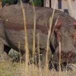 Hippo while on game drive