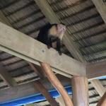 Capuchin Monkeys often visit the dining area to see what food they can steal when you aren't loo