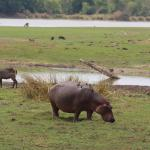 Hippo from Lodge Deck at Mvuu Lodge