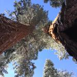 twin sequoias