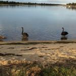 A Family of black swans near our camping site