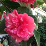 blooming camelia