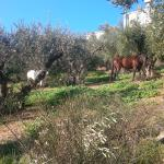 Horses in olive grove having their lunch while we had ours