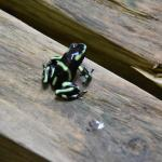 A poison dart frog near the pool area.