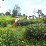 tea plantation in hotel grounds