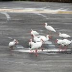 White Ibises in front of our room