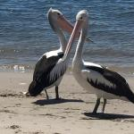 So many pelicans on the beach out front