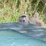 Baboon drinking from the plunge pool