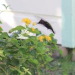 The hummingbird that visits the flower tub next to the Breakfast Hut.