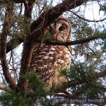 A Barred Owl peers down from an evergreen
