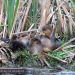 A mother Hooded Merganser rests with her young