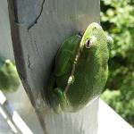 Two American Green Tree Frogs hang out on the viewing tower