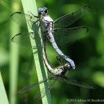 Great Blue Skimmers in their mating wheel