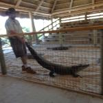 These Crocodile were friendly with the trainer