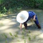 Learning to plant rice at the hotel