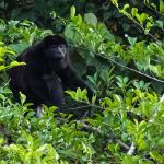 Howler Monkey on the Cano Negro adventure