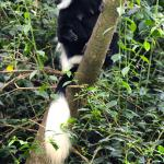 Colobus monkeys in the trees