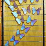 In the gift shop, a dispay of mounted Morphos for sale.