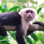 a white-faced monkey taking a rest at Manuel Antonio National Park