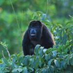 Howler Monkey from Restaurant Window