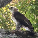 The ornate hawk-eagle (Spizaetus ornatus) is a bird of prey from the tropical Americas.