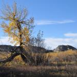Cottonwood tree in late fall along the river banks