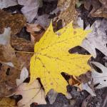 Fall colors 2015 yellow leaves